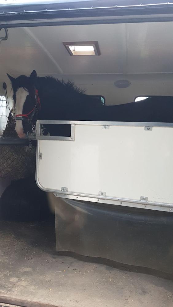 Shire Sherryl in de paardenwagen